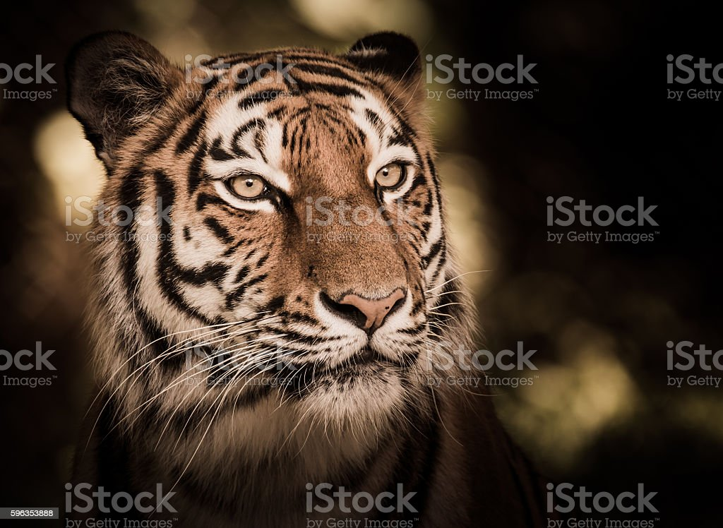 Wild siberian tiger in the jungle royalty-free stock photo