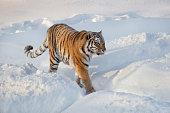 Wild siberian tiger is walking on a white snow. Panthera tigris tigris. Animals in wildlife. Winter morning.