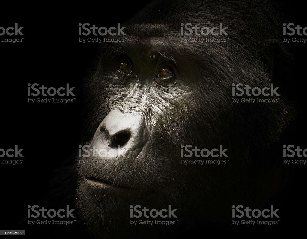 Wild Silverback Gorilla Portrait stock photo