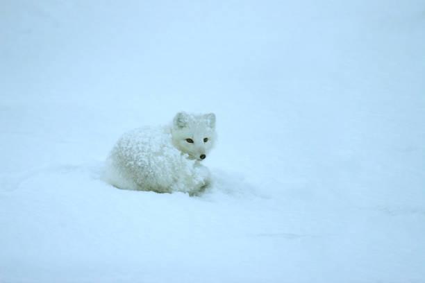 Wild sleeping arctic fox snowstorm covered tundra Hudson Bay Manitoba Canada stock photo