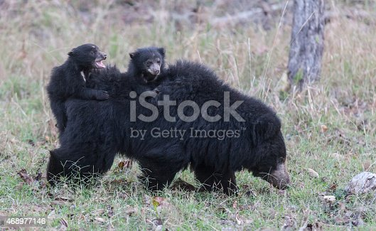 A Wild Sloth Bear / Bhalu (Melursus ursinus) with two tiny cubs (about six weeks old) on her back, in Satpura National Park, Madhya Pradesh, central India. One of the cubs is slipping off the rear and is calling with fright.