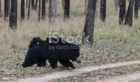 A Wild Sloth Bear / Bhalu (Melursus ursinus) with two tiny cubs (about six weeks old) on her back, walking onto a track in Satpura National Park, Madhya Pradesh, central India.