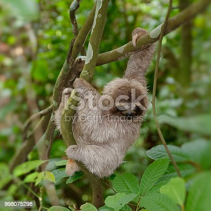 Wild young sloth in Cerro Ancon, Panama city