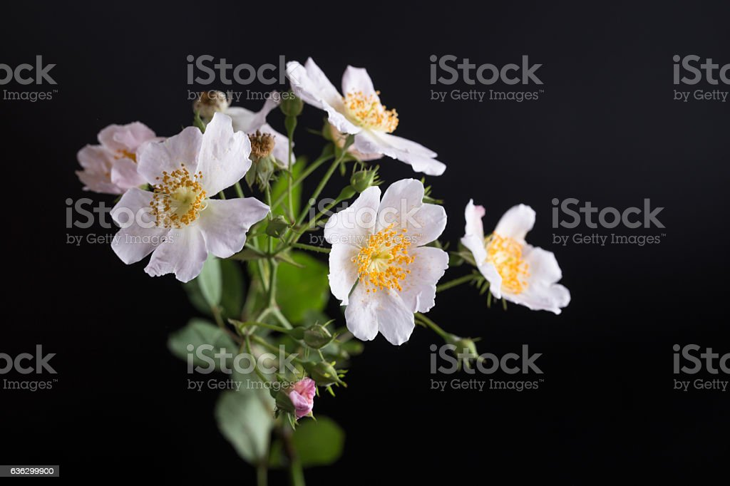 wild small rose bouquet  with black background stock photo
