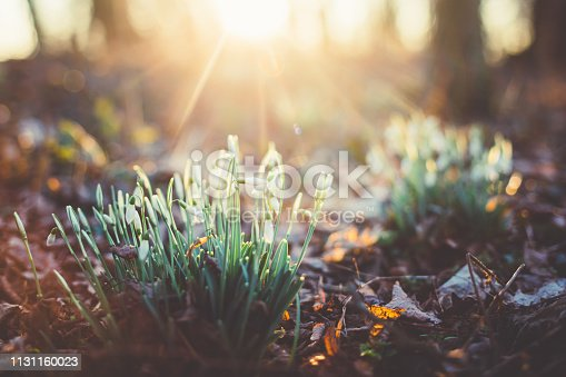 Wild Snowdrops [Galanthus nivalis] in the forest in dusk