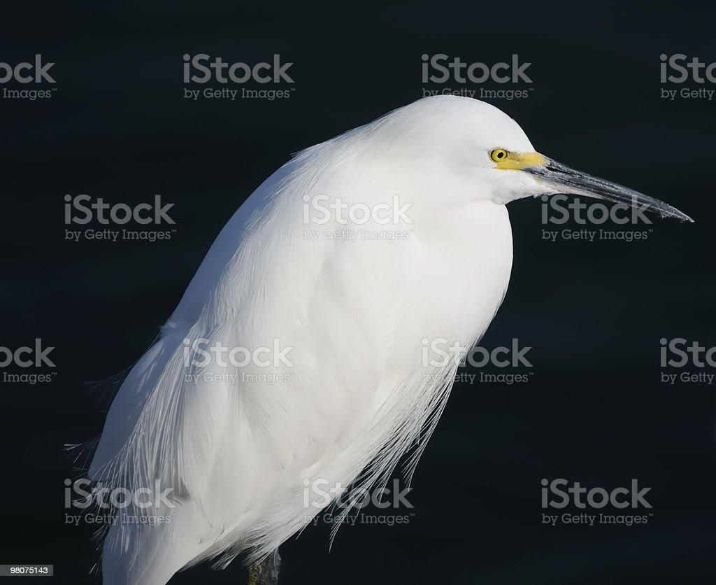 Wild Snowy Egret royalty-free stock photo