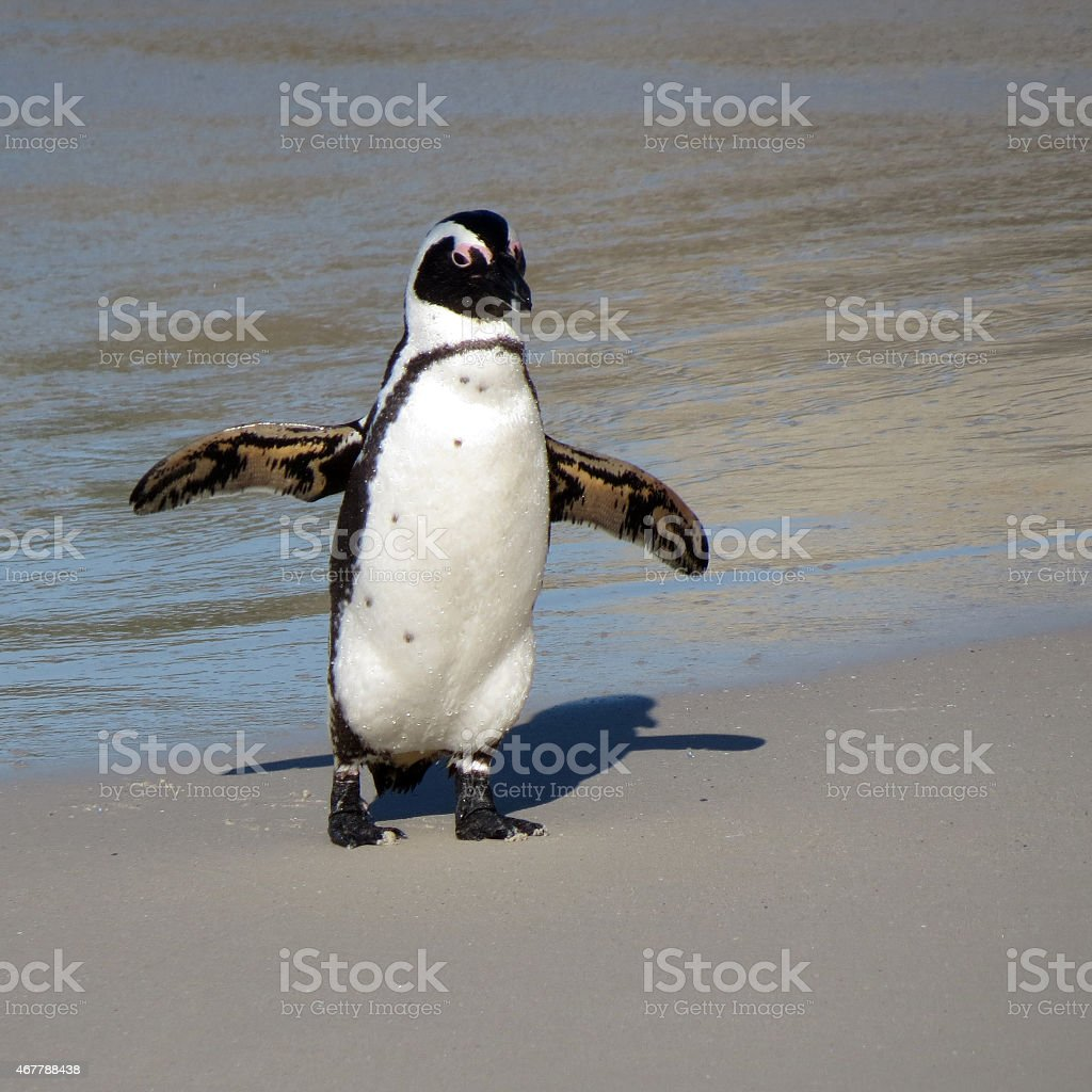 Wild South African penguins stock photo
