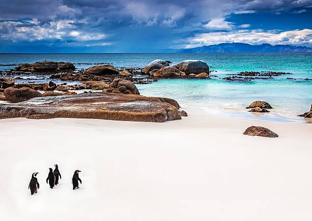 Wild South afrikanische Pinguine – Foto