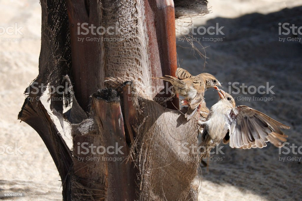 Wild sparrows showing aggressive behaviour whilst perched on a palm tree stock photo