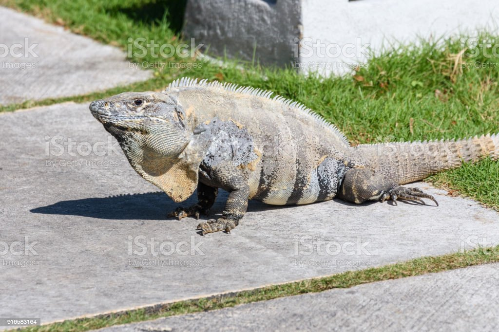 Wild Spinytailed Iguana Black Iguana Or Black Ctenosaur Riviera Maya ...