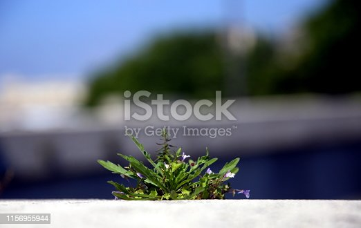 Wild spontaneous plant with small lilac flowers, within the city walls