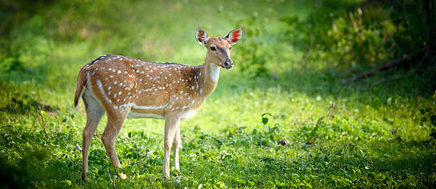 Wild Spotted deer Wild Spotted deer in Yala National park, Sri Lanka axis deer stock pictures, royalty-free photos & images