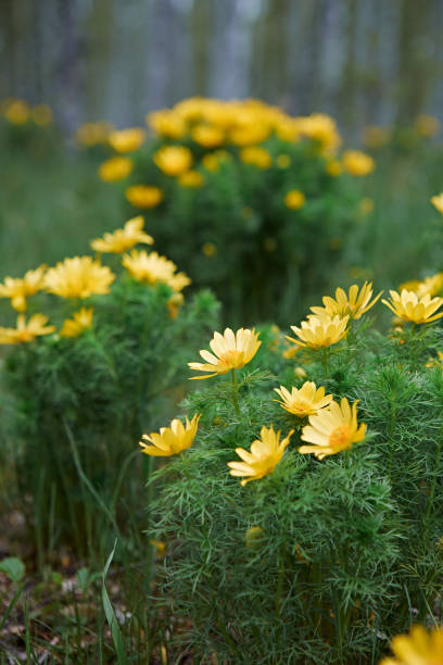Wild spring bright yellow flower Adonis vernalis in the glades of the birch forest stock photo