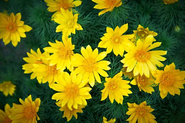 Wild, spring bright yellow flower Adonis vernalis stock photo