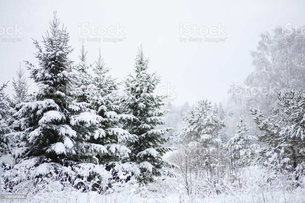 Wilde Fichten mit schweren Schnee bedeckt – Foto