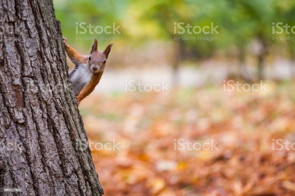 A wild squirel captured in a cold sunny autumn day