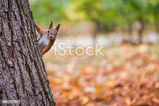 istock A wild squirel captured in a cold sunny autumn day 680121852