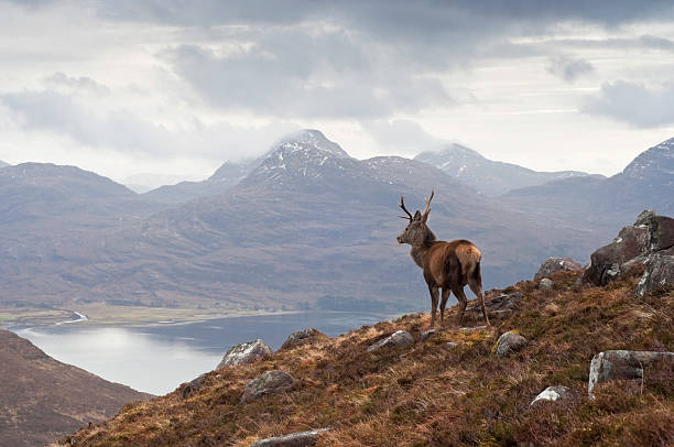 Wild stag, Scottish highlands  red deer animal stock pictures, royalty-free photos & images