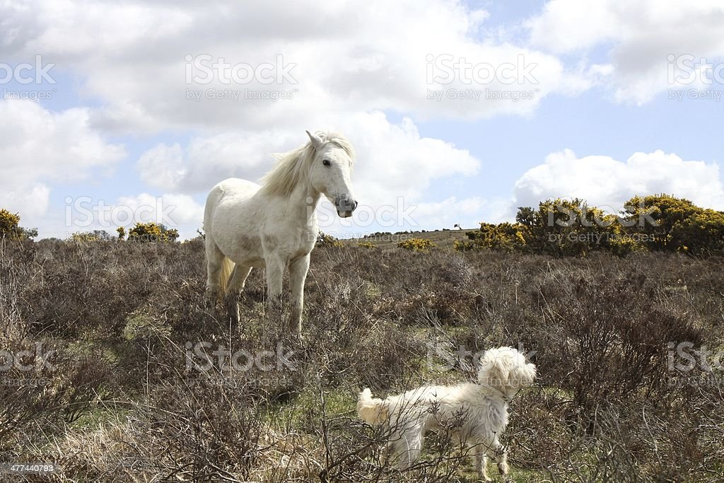 wild stalion and westiepoo standing together new forest national park stock photo