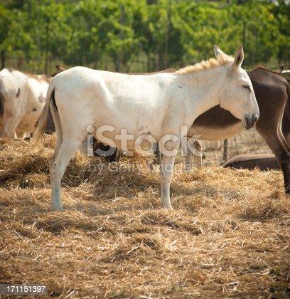 istock Wild Stallion horse portrait in a farm 171151397