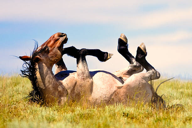 Wild Stallion Rolling in the Plains Grassland stock photo
