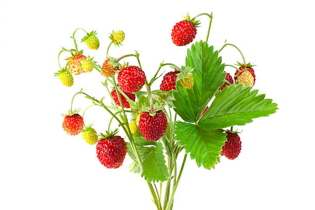 wild strawberries twigs with fruits on a white background - wilde aardbei stockfoto's en -beelden
