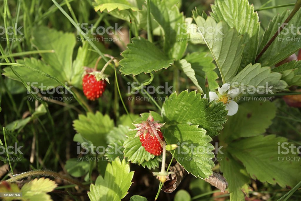 wild strawberry 1 royalty-free stock photo