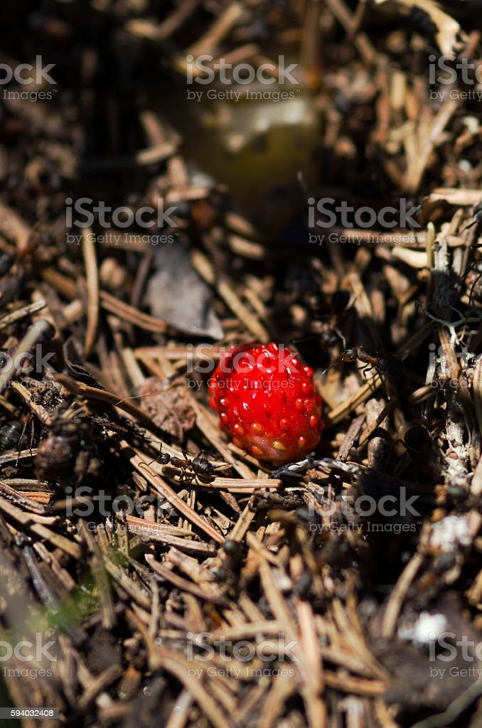 Wild strawberry among pine needles and ants in anthill stock photo