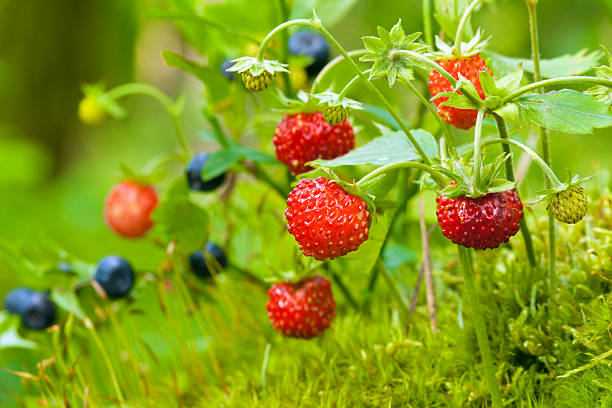 wild strawberry and blueberries - wilde aardbei stockfoto's en -beelden