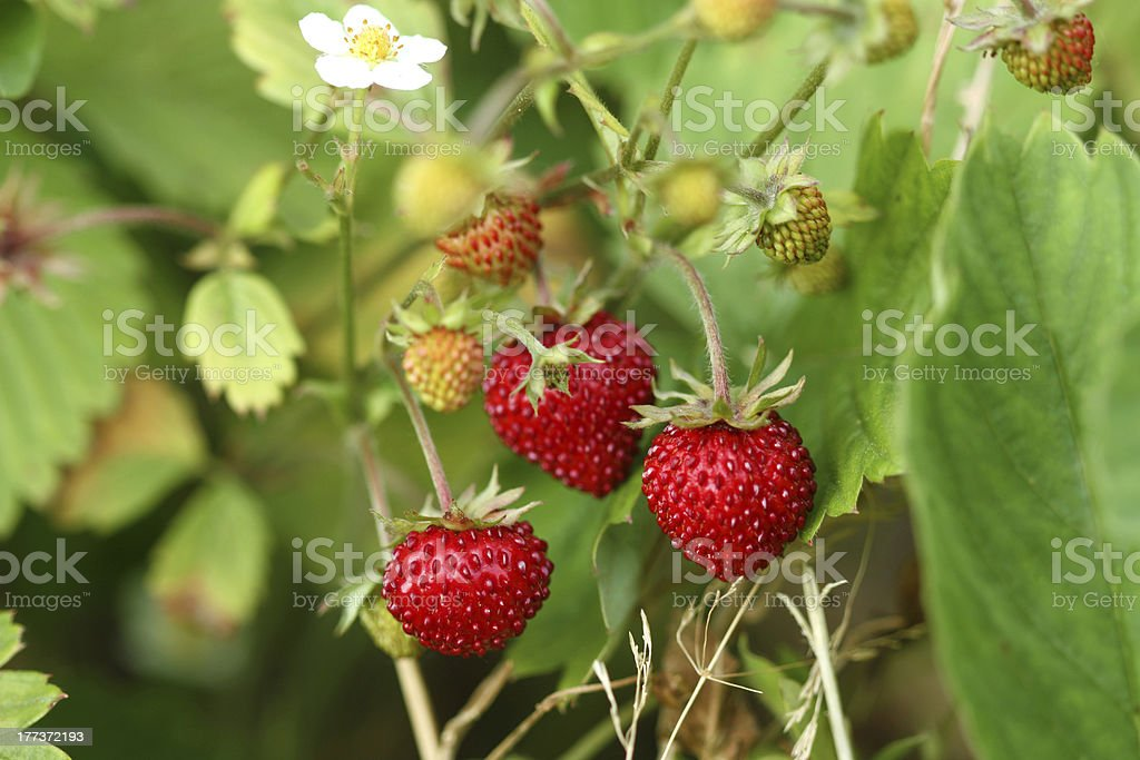 Wild strawberry bush stock photo