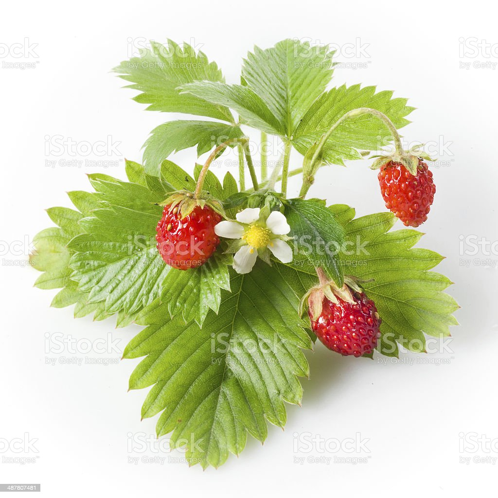 Wild strawberry isolated on white stock photo