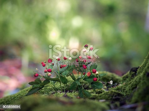 Wild strawberry. The bushes with berries. Moss