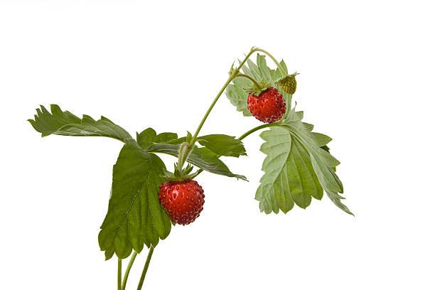 wild strawberry – Foto