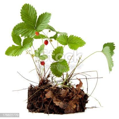 Wild strawberry plant isolated on white