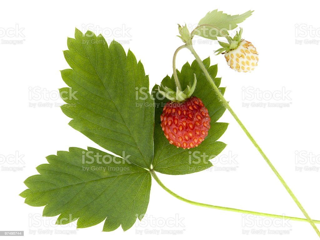 Wild strawberry royalty-free stock photo