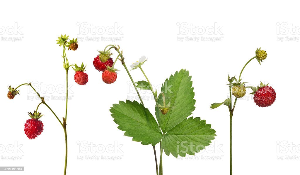 wild strawberry with ripe berries collection stock photo