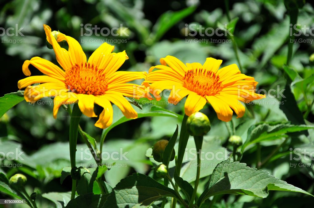 Wild sunflower in bloom in Dalat highland city, Vietnam stock photo