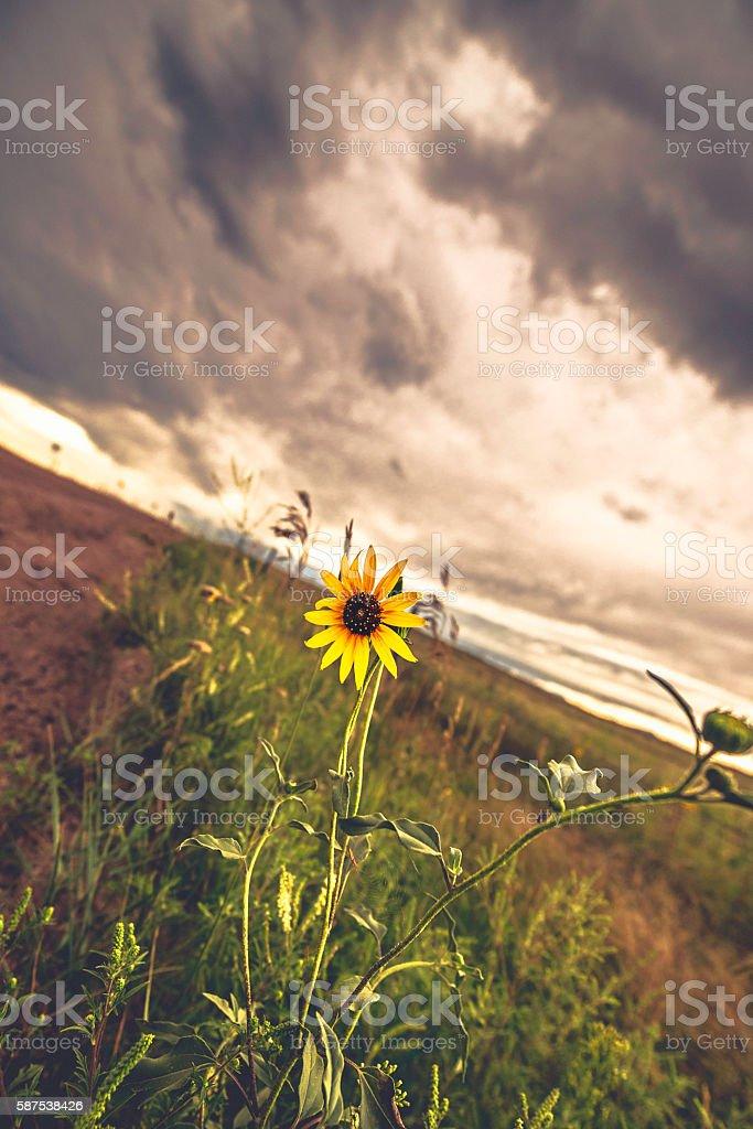 Wild sunflower standing tall under heavy storm clouds stock photo