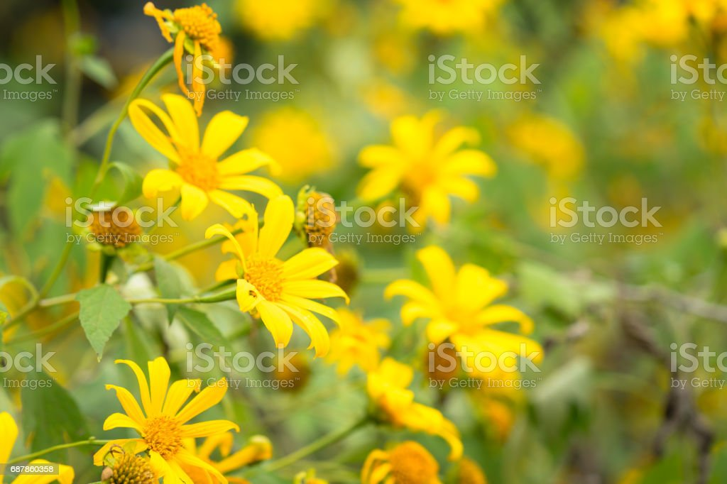 Wild sunflowers or Mexico sunflower stock photo