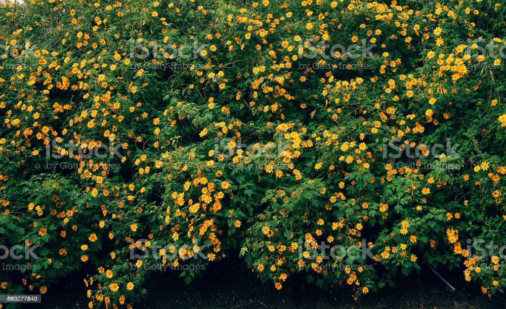 Wild sunflowers season, Dalat travel stock photo
