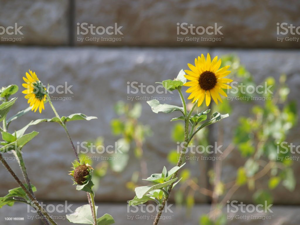 Wild Sunflowers Thrive in Record Heat stock photo