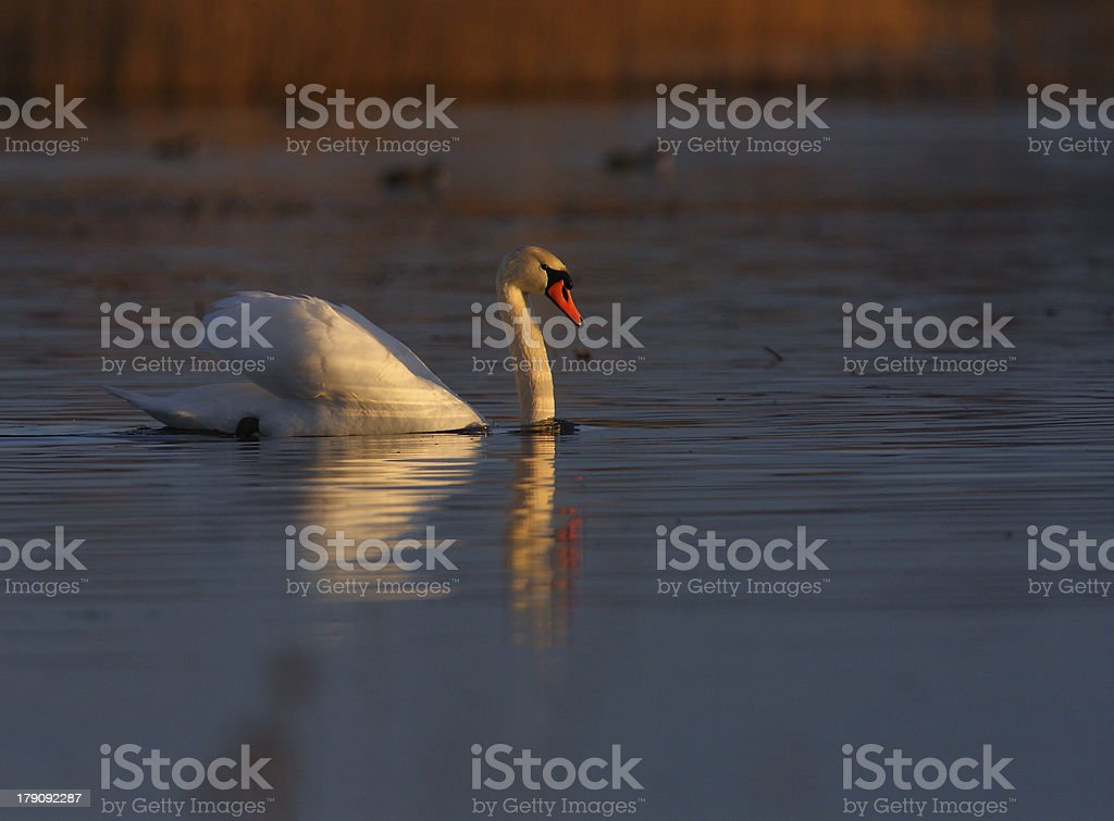 Wild swans on a lake royalty-free stock photo