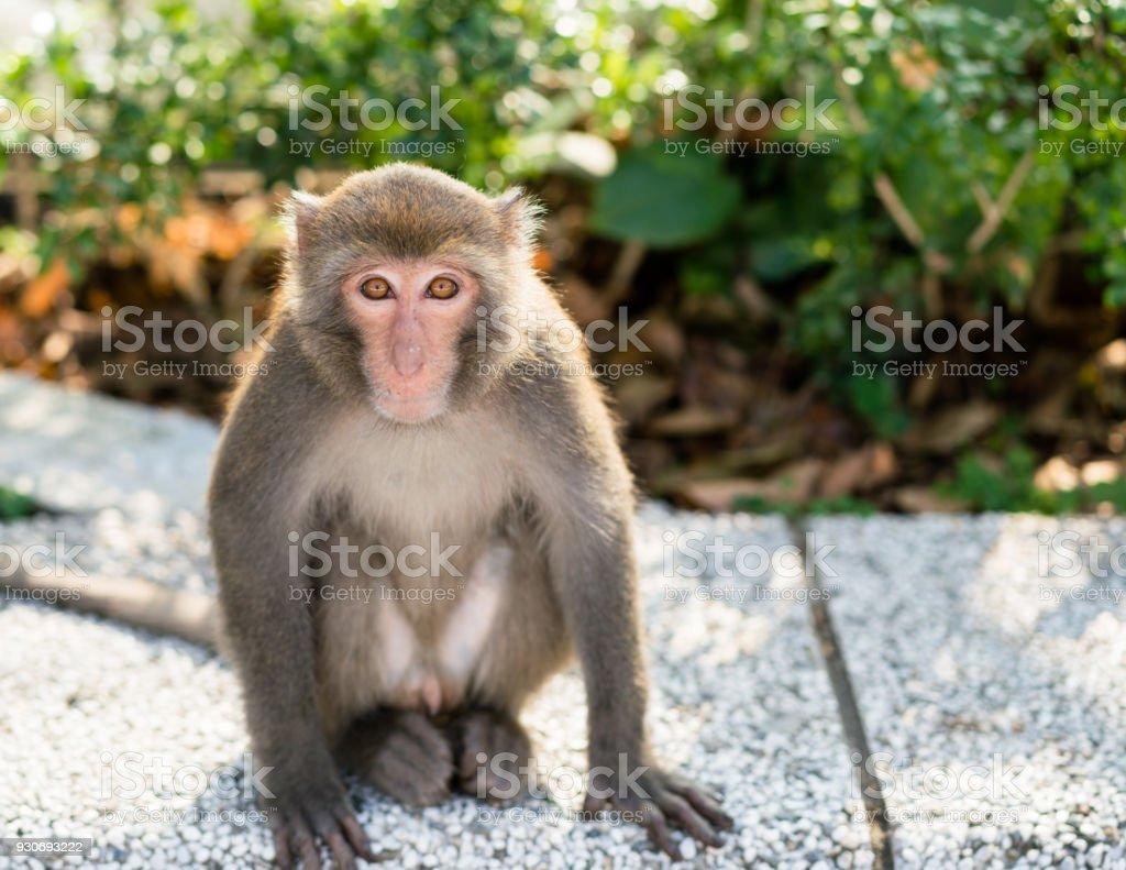 Wild Taiwanese Formosan rock macaque monkey stock photo