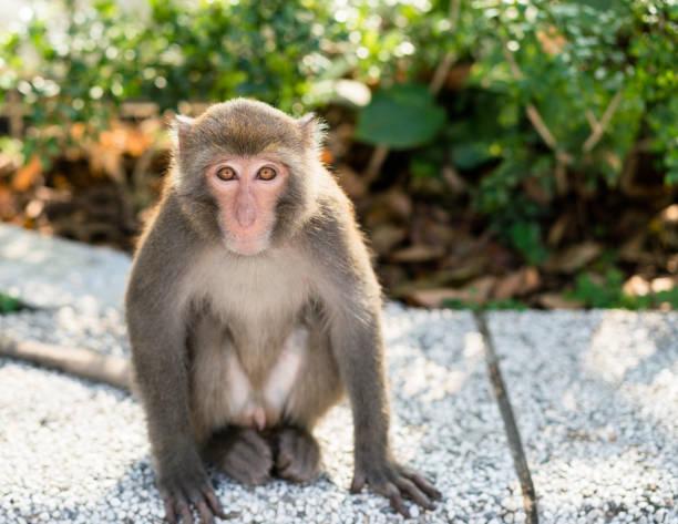 wild taiwanese formosan rock macaque monkey - macaco foto e immagini stock