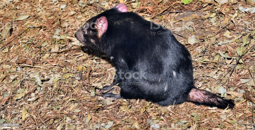 Wild tasmanian devil stock photo