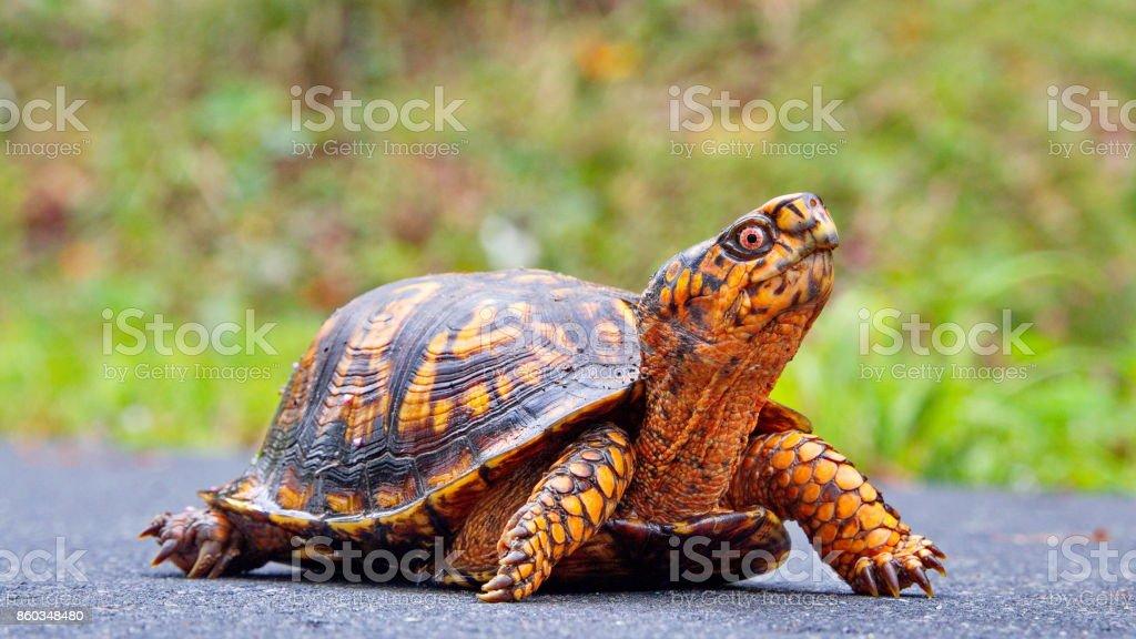 A wild Terrapene carolina carolina turtle in walking a trail. stock photo