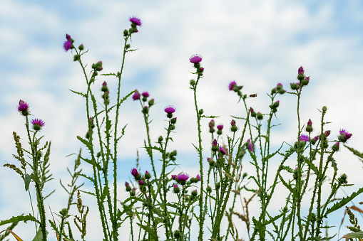 Wild thistle in a field on a farm on a sunny summer day against blue sky, meadows, natural background