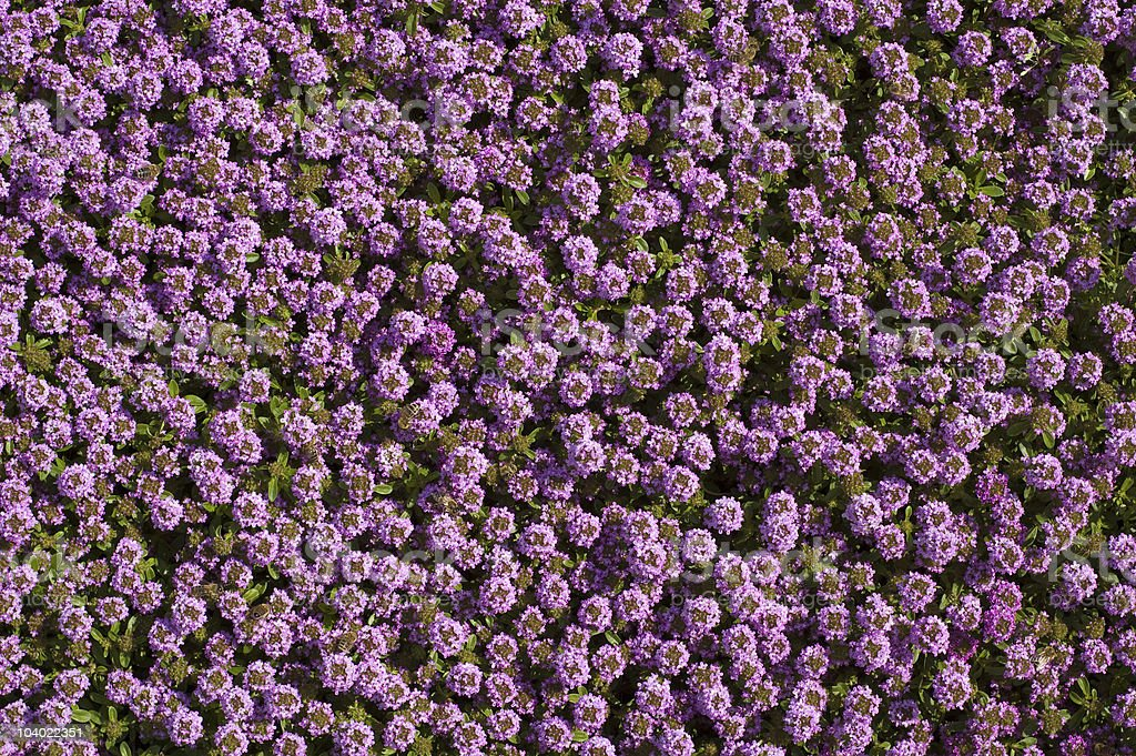 Wild thyme flowers royalty-free stock photo