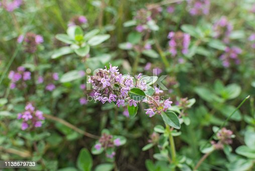 Wild thyme herb with pink flowers. Tea and healing herbs.