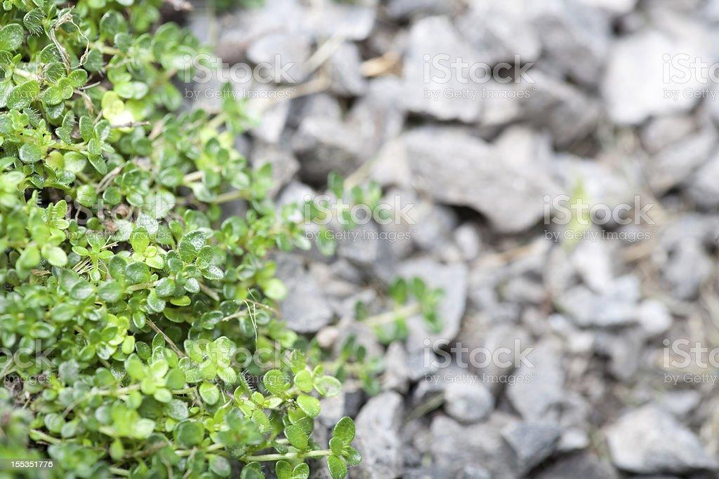 Wild Thyme in rock garden royalty-free stock photo